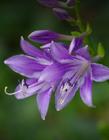 紫玉簪花图片清晰 玉簪花图片