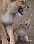 母狮和刚出生的小狮子 狮子妈妈和小狮子视频