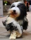 狗展览会 2016哪里有狗展览会