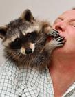宠物小浣熊图片 小浣熊可以当宠物吗