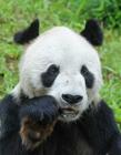 31岁大熊猫盼盼离世