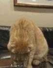 小猫喝水图片 小猫喝水动态图