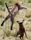 豹子捕食的图片