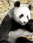 荷兰迎接大熊猫 大熊猫在荷兰
