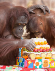 红毛猩猩图片 红毛猩猩宝宝卖萌图片