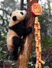 熊猫宝宝过新年图片 熊猫宝宝萌萌哒的图片