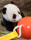 熊猫小时候可爱 可爱的熊猫宝宝