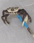 煮螃蟹搞笑视频 螃蟹搞笑图