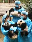 熊猫集体亮相 成都23只熊猫图片