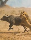 狮子捕食水牛 狮子大战水牛