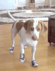狗狗穿上鞋视频 狗狗第一次穿鞋