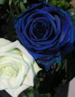 蓝色妖姬是染色的吗 蓝色妖姬花束图片