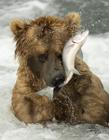 熊捕鱼图片大全 熊捕鱼是什么行为