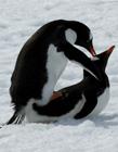 企鹅恶搞动态图片 企鹅推企鹅动态图片