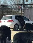 北京野生动物园游览轿车遭黑熊围堵