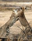 豹子打架图片