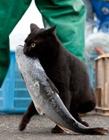 猫抓鱼的图片 跳起来猫抓鱼图片