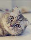 可爱折耳猫图片 折耳猫图片大全