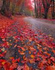 秋天的枫叶林图片 枫叶图片唯美意境图片