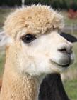羊驼图片萌照 超萌小羊驼图片