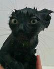 喵星人不愿洗澡 猫洗澡后不理我了