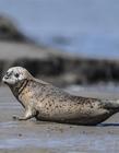 斑海豹图片 自然斑海豹图片