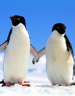 企鹅手牵手图片 两只企鹅图片大全可爱