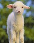 可爱绵羊图片 绵羊品种大全图片