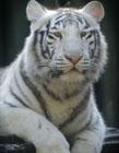 白色老虎图片