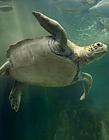 海龟图片 海龟种类图片大全