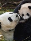 可爱的国宝熊猫图片 小大熊猫图片