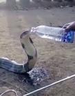 印度眼镜王蛇