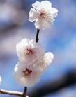 粉色梅花图片 最美的梅花图片