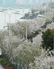 杭州最美跑道 樱花依山傍水