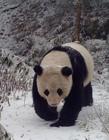 四川野生大熊猫视频