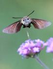 蜂鸟鹰蛾种类图片