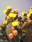 最美的仙人掌花图片 仙人掌花朵图片