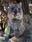 短尾矮袋鼠为什么会笑 澳洲短尾矮袋鼠