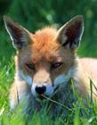 小赤狐图片 赤狐图片大全