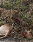 豹子捕猎视频 豹子捕食视频