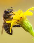 小蜜蜂图片 春天蜜蜂采蜜图片大全
