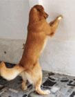 狗狗搞笑gif动态图片