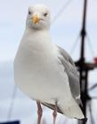 海鸥图片 大海蓝天白云海鸥图片