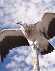 飞翔的鹰图片 雄鹰展翅图片