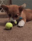 柯基犬小短腿动态图