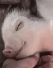 猪搞笑图片大全