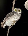 夜晚的猫头鹰