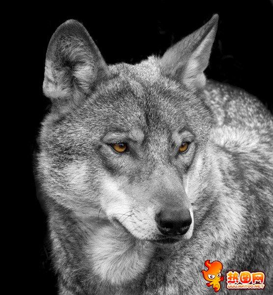 雪地里的狼 霸气孤独狼图片-动物图片-热图网