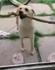 狗叼棍子过不去门