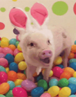 小猪gif动图